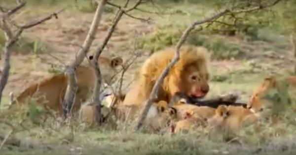 Τρεις άνδρες εναντίον 15 λιονταριών. Άνδρες της φυλής των Maasai στην Κένυα τρέπουν σε φυγή λιοντάρια για να τους πάρουν την τροφή! (Βίντεο)
