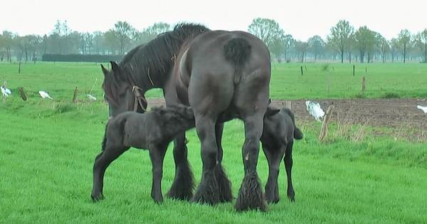 Βελγικό άλογο γεννά δίδυμα και το θέαμα είναι πραγματικά πανέμορφο! (Βίντεο)