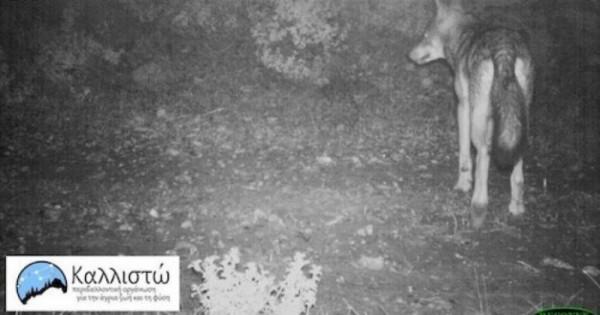 Οι λύκοι επέστρεψαν μετά από 50 χρόνια στην Πάρνηθα! Οι κάμερες κατέγραψαν μια μεγάλη αγέλη που συντηρείται από τα ελάφια της περιοχής (φωτό)…