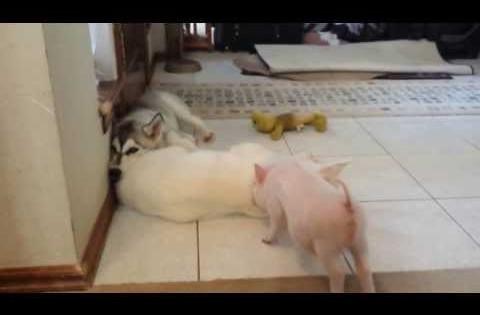 Χάσκι και γουρουνάκια κάνουν την καλύτερη παρέα ever! (Βίντεο)