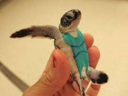 Δείτε αυτά τα αξιολάτρευτα χελωνάκια με τις χρωματιστές πάνες!