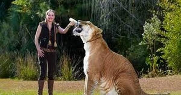 Μοναδικό αιλουροειδές: Διασταύρωση λιονταριού με τίγρη που αποκαλείται «Γίγαντας»! [φωτο]