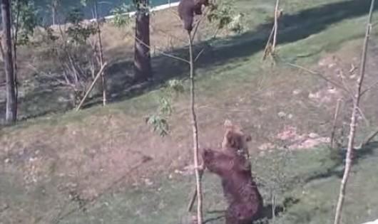 Δείτε τι κάνει μια μαμά αρκούδα για να σώσει το αρκουδάκι της που έχει εγκλωβιστεί (video)