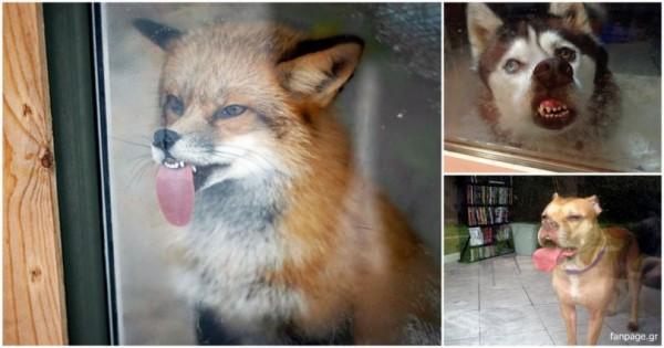 Γκριμάτσες από ζώα σε παράθυρα που μας έκαναν να γελάσουμε…! (Εικόνες)