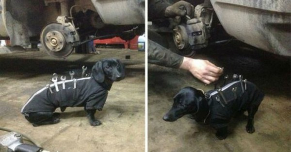 Αυτός ο σκύλος βοηθάει με τον δικό του τρόπο σε ένα συνεργείο αυτοκινήτων. Τέλειο! (Εικόνες)