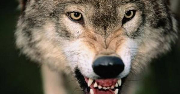 Σκηνές τρόμου μετά από επιδρομή αγέλης λύκων σε κοπάδι στην Ήπειρο- Η κτηνοτρόφος δεν πίστευε στα μάτια της… (φωτό)
