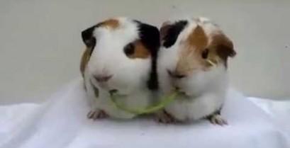 Δύο ινδικά χοιρίδια τρώνε τα λαχανικά τους (Βίντεο)