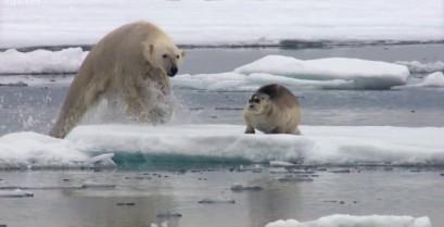 Η πολική αρκούδα αιφνιδιάζει τη φώκια (Βίντεο)