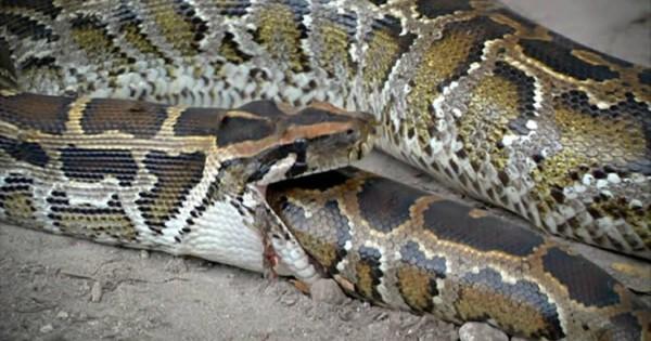 Εννιά φίδια που έφαγαν περισσότερο απ' ό,τι μπορούσαν (Εικόνες)