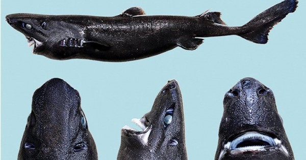Ανακαλύφθηκε νέο είδος καρχαρία που φωσφορίζει στο σκοτάδι! (Εικόνες)
