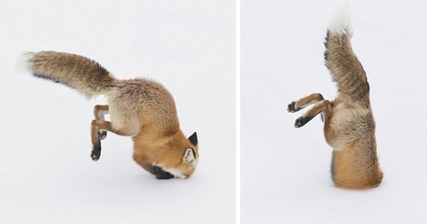 Η… εκτόξευση της αλεπούς (Εικόνες)