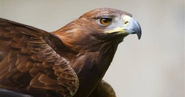 Επική μάχη: Αετός εναντίον αγριοκάτσικου σε απόκρημνη πλαγιά – Δείτε την κατάληξη (vid)
