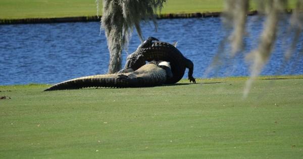 Επική μάχη ανάμεσα σε αλιγάτορες σε γήπεδο γκολφ (Εικόνες)