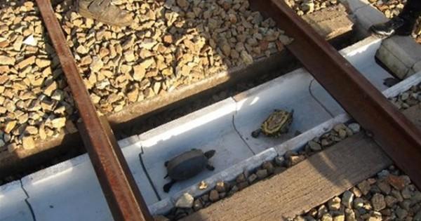 Οι ιαπωνικοί σιδηρόδρομοι κατασκευάζουν «σήραγγες» για… χελώνες