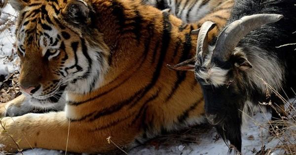Ο καλύτερος φίλος μιας τίγρης είναι ένας… τράγος (Βίντεο)