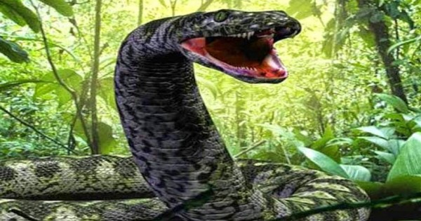 Αυτό είναι το μεγαλύτερο φίδι στον κόσμο και ζει σε αιχμαλωσία – Δείτε τι τρώει! (βίντεο)