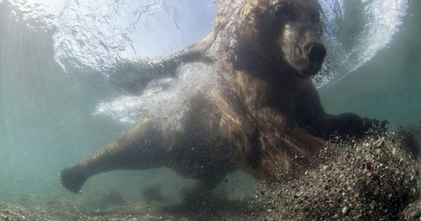 Αρκούδα δίνει… μαθήματα ψαρέματος (Εικόνες)