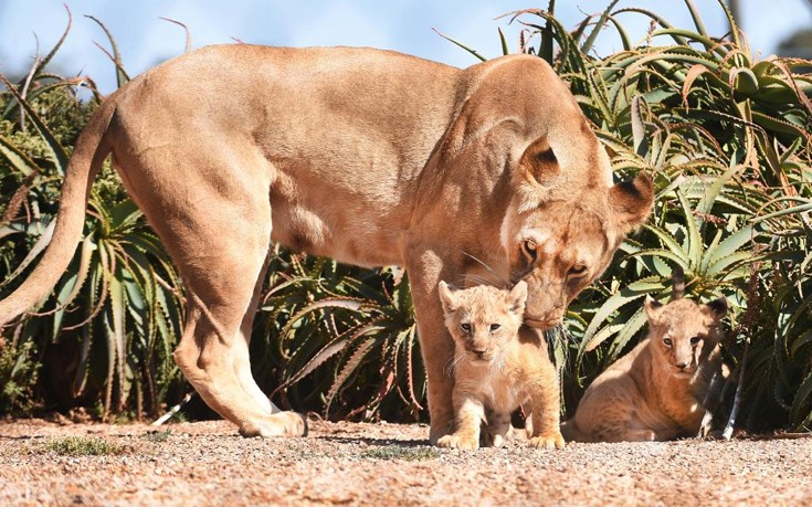 λιονταράκια