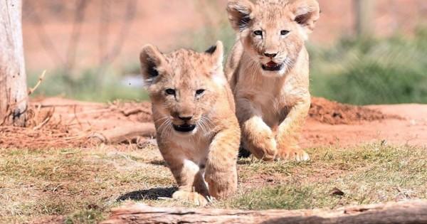 Ντεμπούτο για τα αξιολάτρευτα λιονταράκια (Εικόνες)