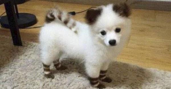 Pomsky: Η διασταύρωση Husky και Pomeranian που θα λατρέψετε! (7 γλυκά ζωάκια)