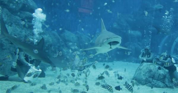 Οι καρχαρίες τρώνε συστηματικά τα τρόφιμα που απορρίπτουν οι άνθρωποι στον ωκεανό