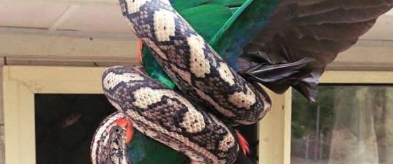 Φοβερές εικόνες: Τεράστιος πύθωνας καταβροχθίζει έναν πανέμορφο παπαγάλο