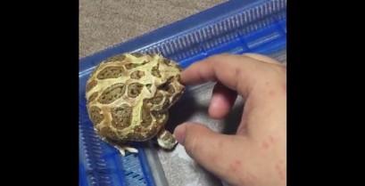 Ένας θυμωμένος μικρός βάτραχος (Βίντεο)