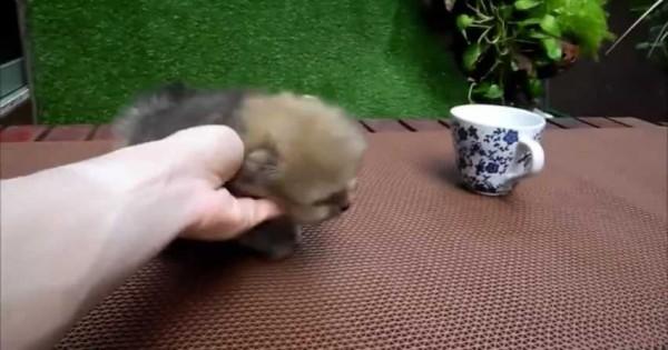 Δεν μπορείτε να αντισταθείτε στα παιχνίδια αυτού του μικρού πομεράνιαν (Βίντεο)