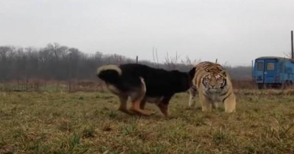 Μία τίγρης έτρεξε πάνω στο σκύλο της… και αυτό που έγινε δεν το περίμενε κανείς! (βίντεο)