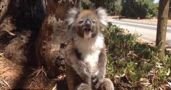 Κοάλα κλαίει σαν μωρό επειδή έχασε το δέντρο του (Βίντεο)
