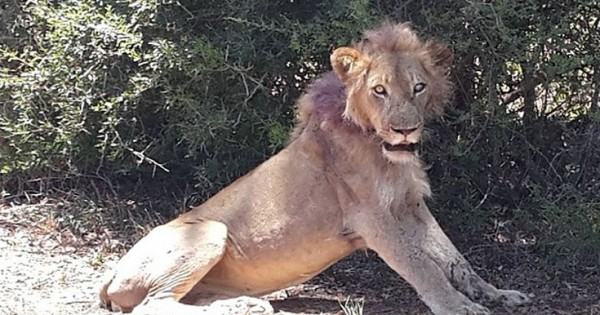 Τουρίστες έσωσαν ετοιμοθάνατο λιοντάρι (Εικόνες)