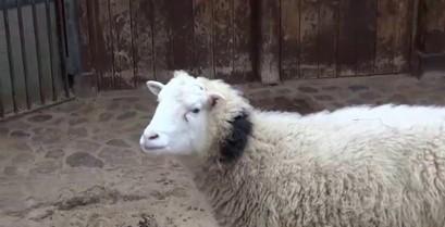 Το βραχνιασμένο πρόβατο (Βίντεο)