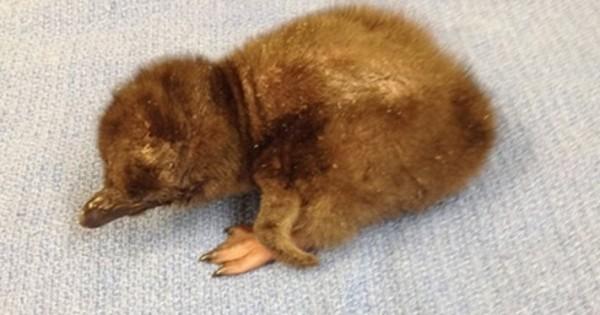 Το μωρό πιγκουίνος που ονομάστηκε David Bowie (Εικόνες)