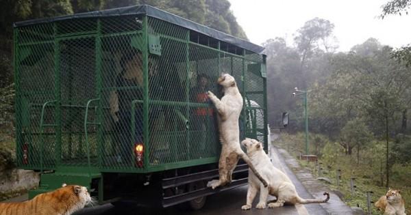 Εκεί που τα ζώα κυκλοφορούν ελεύθερα και οι επισκέπτες μπαίνουν σε κλουβιά (Εικόνες)