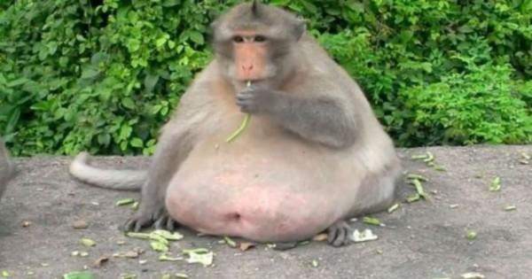 Έχετε ξανά δει χοντρή μαϊμού; Αυτή είναι ίσως η πρώτη σας φορά. (Βίντεο)