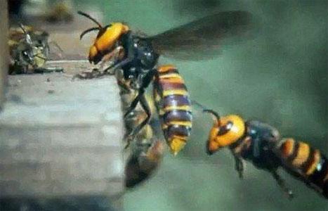 """30 """"Σφήκες της Κολάσεως"""" κατασπαράζουν 30.000 μέλισσες! (Βίντεο)"""
