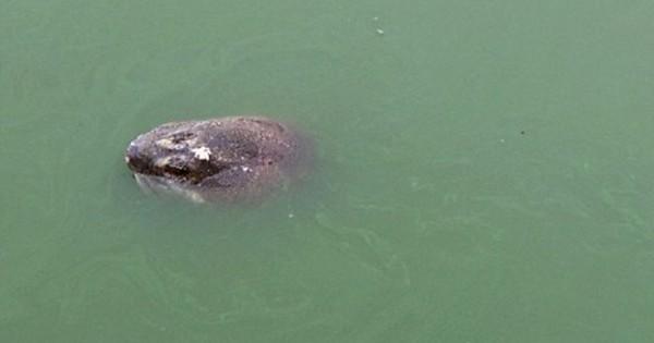 Θρήνος στο Βιετνάμ για τον θάνατο ιερής χελώνας (Εικόνες)
