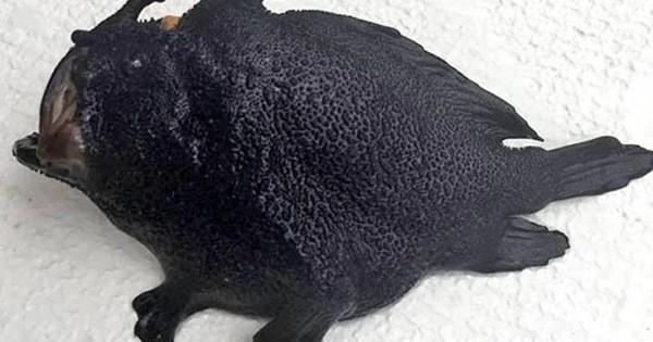 Το παράξενο μαύρο ψάρι με πόδια που ζει στο βυθό της θάλασσας (Βίντεο)