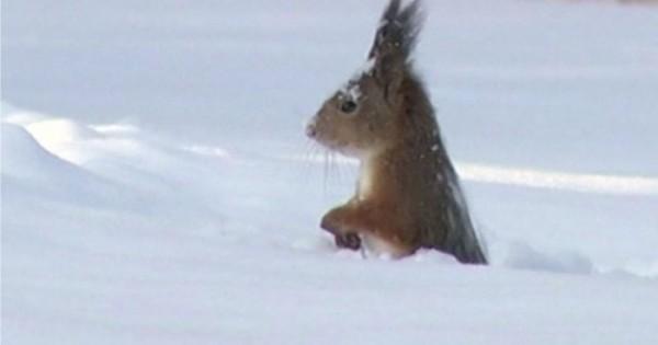 Ο παιχνιδιάρης σκίουρος φαίνεται να απολαμβάνει το χιόνι, βουτώντας μέσα σε αυτό…(Βίντεο)