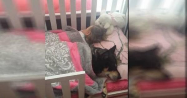 Έψαχνε το σκύλο μέσα και έξω από το σπίτι και εκείνος κοιμόταν στην κούνια μαζί με το μωρό! [βίντεο]