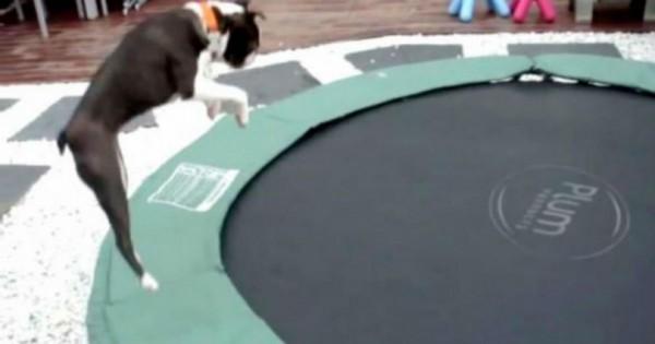 Όταν ανακάλυψε αυτό το κουτάβι πως λειτουργεί το τραμπολίνο δεν ξεκολλούσε από αυτό. (Βίντεο)