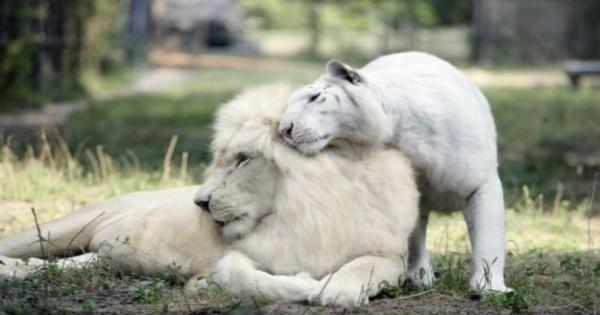 Όταν ένα άσπρο λιοντάρι και μια άσπρη τίγρης έκαναν μωρά το αποτέλεσμα ήταν εκπληκτικό