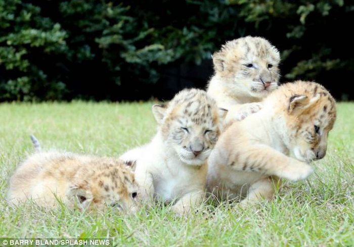 Τίγρης λιοντάρι Λευκό λιοντάρι λευκή τίγρης