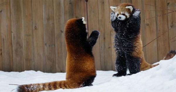 Θα σας κάνει να λιώσετε: Τα κόκκινα panda που έχουν ξετρελάνει το διαδίκτυο [Βίντεο]