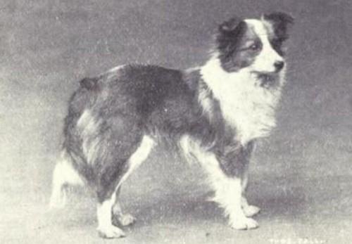 τσοπανόσκυλο Shetland ράτσες σκύλων μπουλ τεριέ γερμανικός ποιμενικός Αιρντέιλ Τεριέ αγγλικό μπουλντόγκ