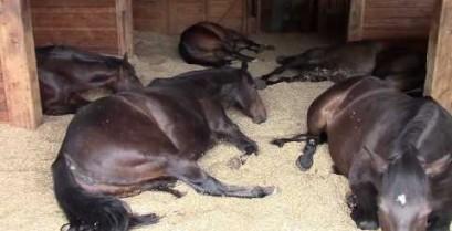 Τρελό γέλιο: Ροχαλητά και… αέρια στο στάβλο με τα άλογα!