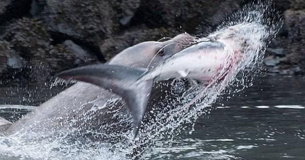 Μάχη μέχρι θανάτου: Θαλάσσιο λιοντάρι κατασπαράζει καρχαρία! (φωτογραφίες-βίντεο)