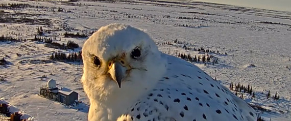Μια webcam καταγράφει έναν πανέμορφο ασπρογέρακα