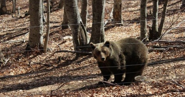 Ξύπνησαν οι αρκούδες στο καταφύγιο του Αρκτούρου (Εικόνες)