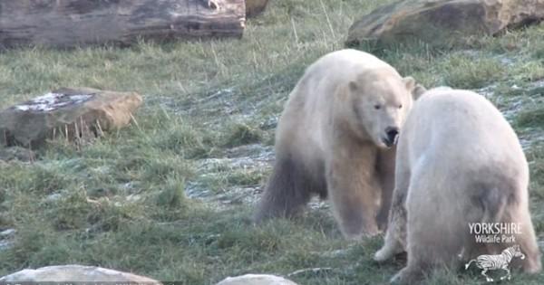 Τι συμβαίνει όταν 2 πολικές αρκούδες συναντιούνται για πρώτη φορά (Βίντεο)